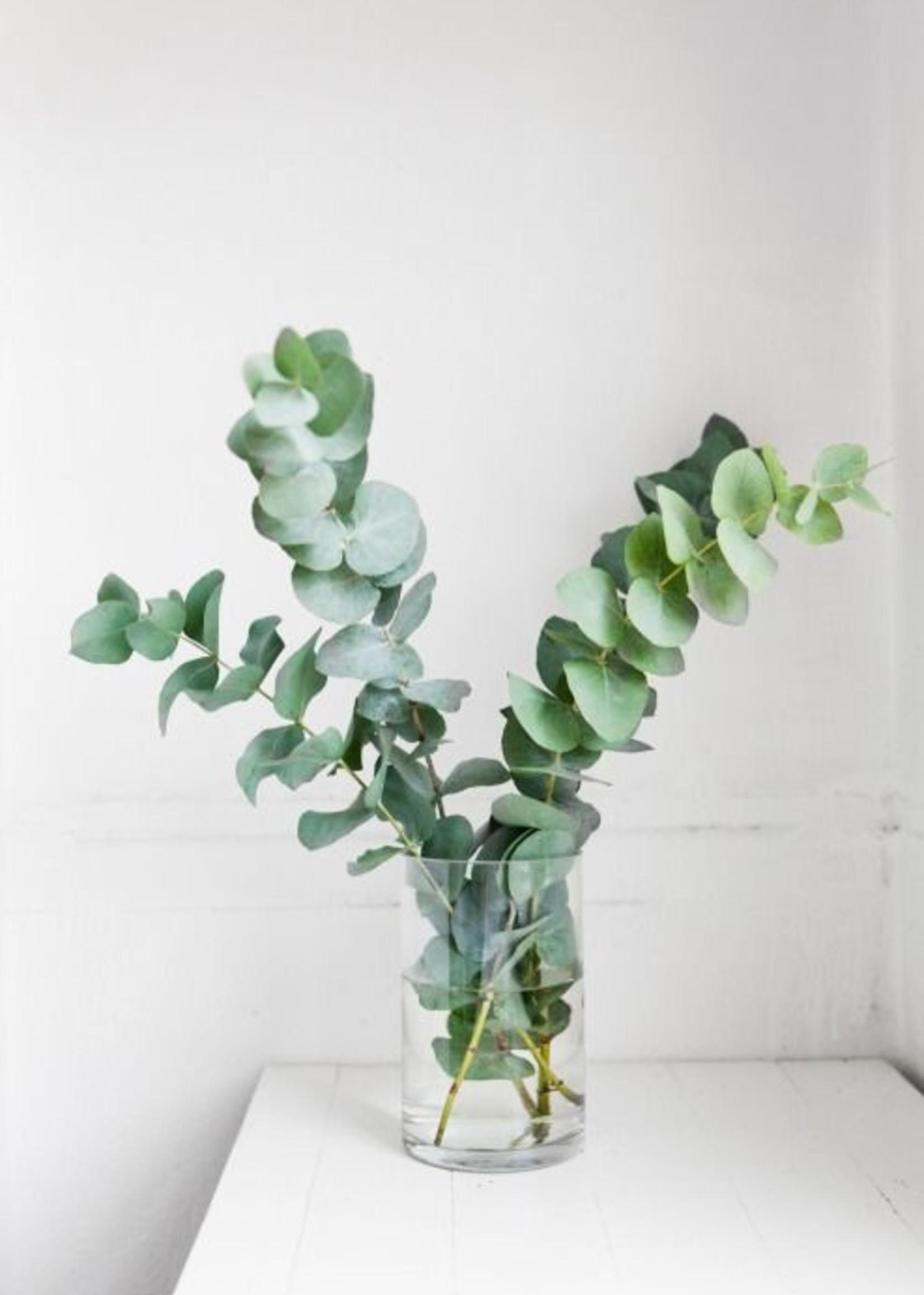 Bosje Eucalyptus Cinerea 150 gram