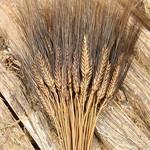 Dried wheat - Triticum - Black beard