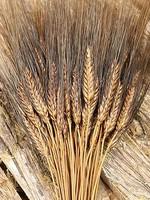 Gedroogde tarwe - Triticum - Black beard