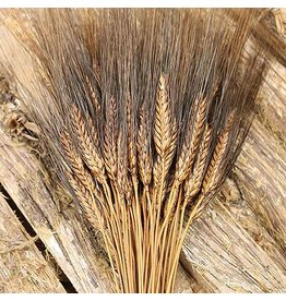 Dried wheat - Triticum - Black beard