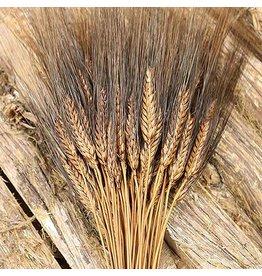 Getrockneter Weizen - Triticum - schwarzer Bart
