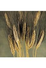 Dried wheat - Triticum - Black beard - 250 gram