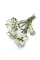Getrockneter weißer Ixodia pro Bündel von 30 - 40 cm