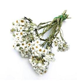 Dried white Ixodia per bundle