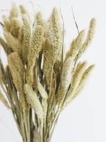Droogbloemen - Gedroogde Naaldaar - Setaria