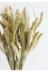 Droogbloemen - Gedroogde Naaldaar - Setaria - per bos