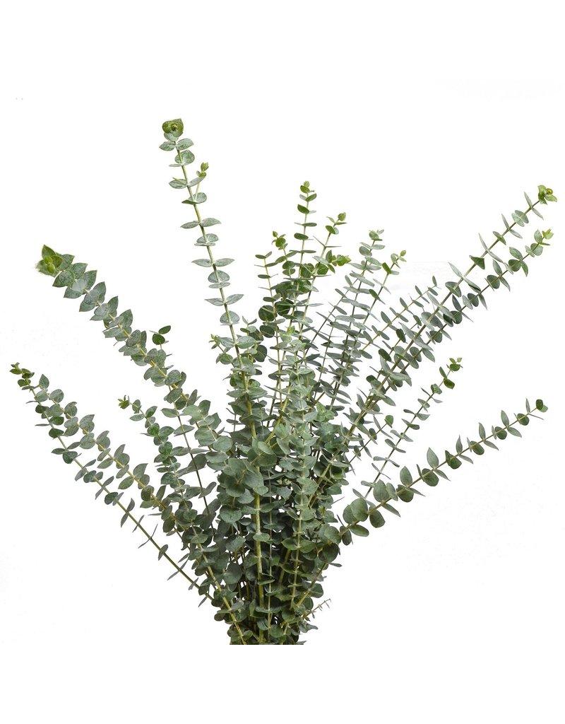 "Eucalyptus Pulverulenta ""Baby Blue"" 200 gram"