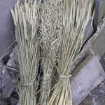 Set gedroogde granen: tarwe, gerst en haver