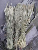 Gedroogde granen; tarwe, gerst en haver