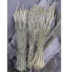 Getrocknete Körner; Weizen, Gerste und Hafer
