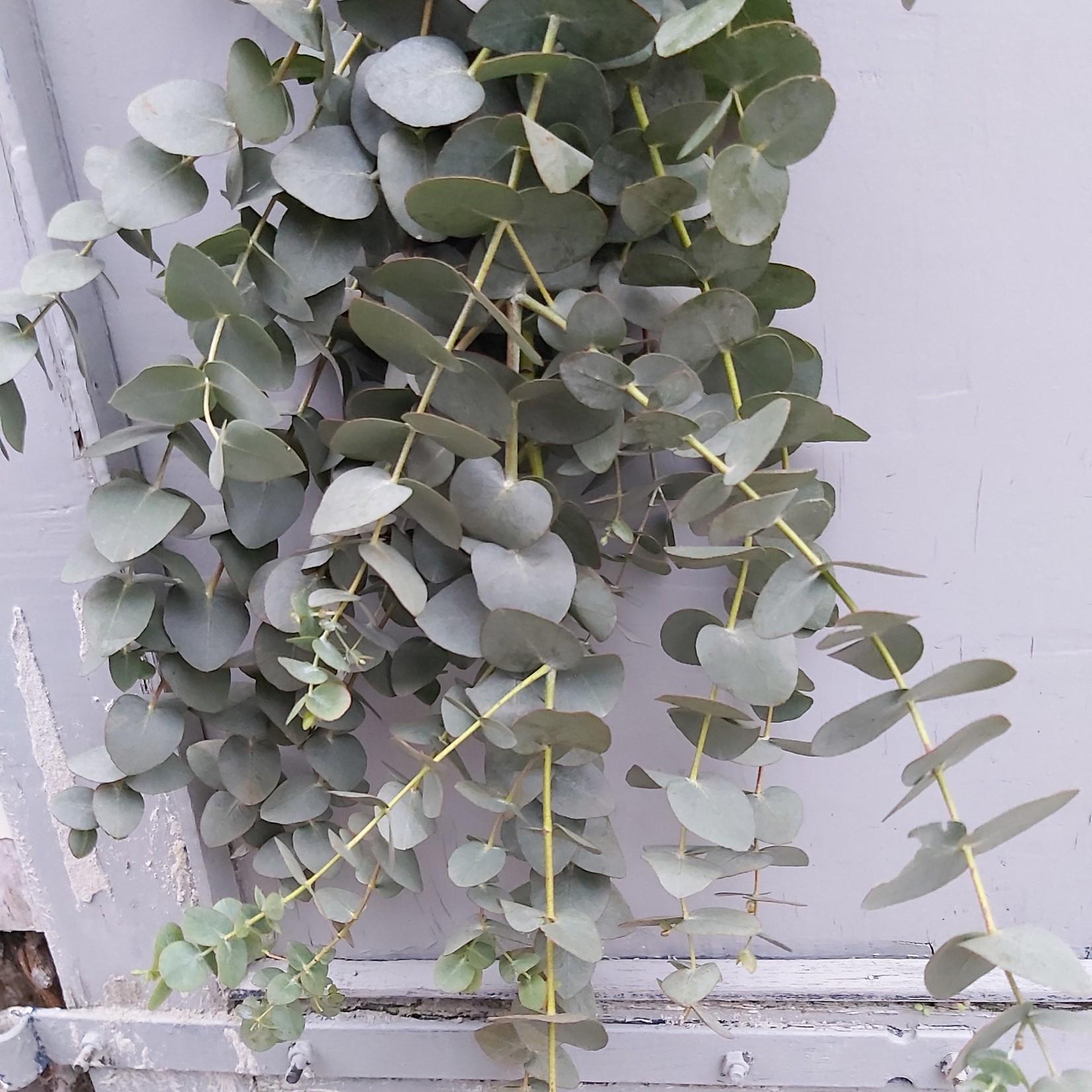 Bunch of Eucalyptus Cinerea 150 grams