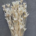 Gedroogde Nigella Orientalis Bleached