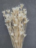 Dried Nigella Orientalis Bleached