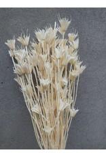 Dried Nigella Orientalis Bleached - per bunch