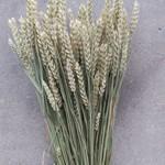 Getrocknetes Triticum (Weizen) natur
