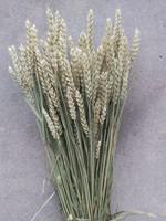 Dried wheat - Triticum
