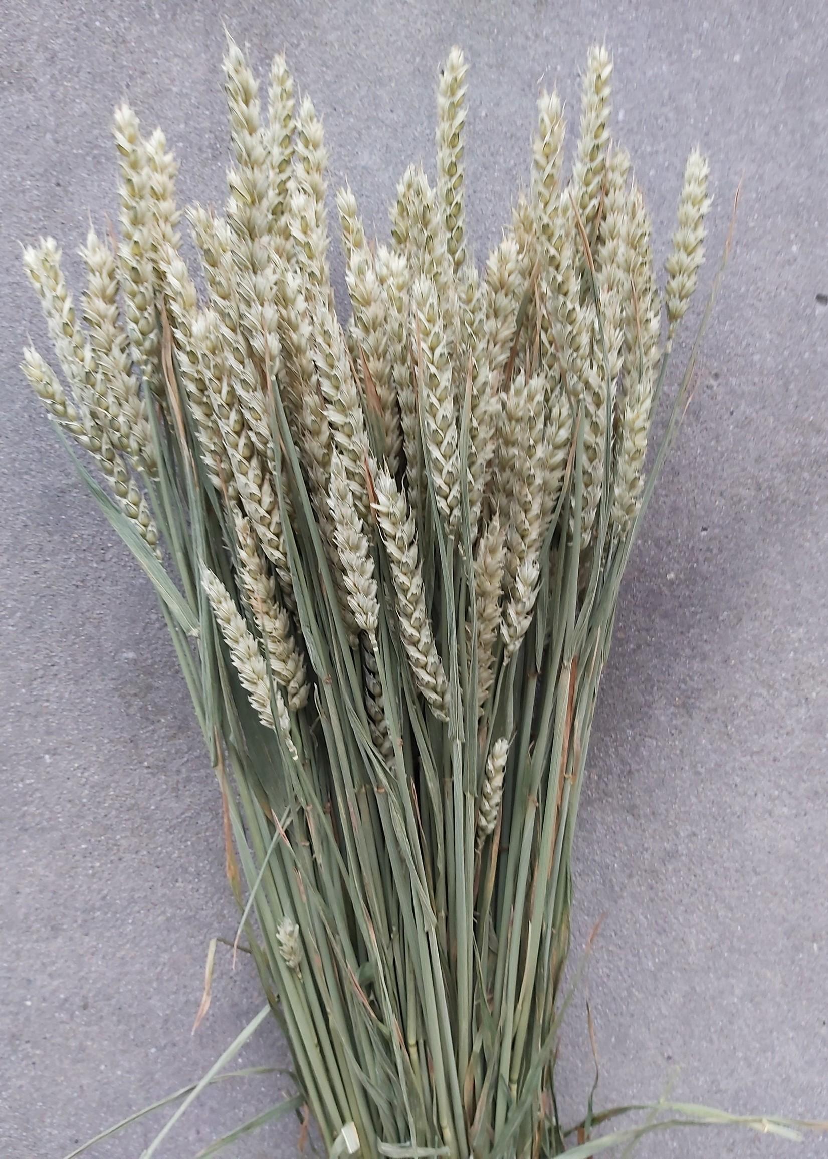 Dried wheat - Triticum - per bunch