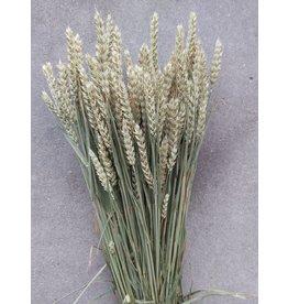 Gedroogde tarwe - Triticum