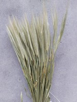 Dried barley - Hordeum