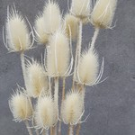 Bunch of dried and bleached Cardi Palustris