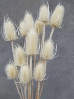 Bunch dried and bleached Cardi Palustris
