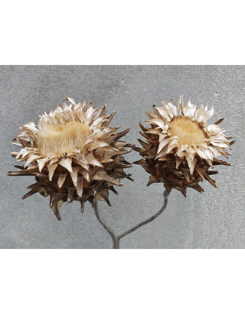 Dried wild artichoke - Cynara - per head