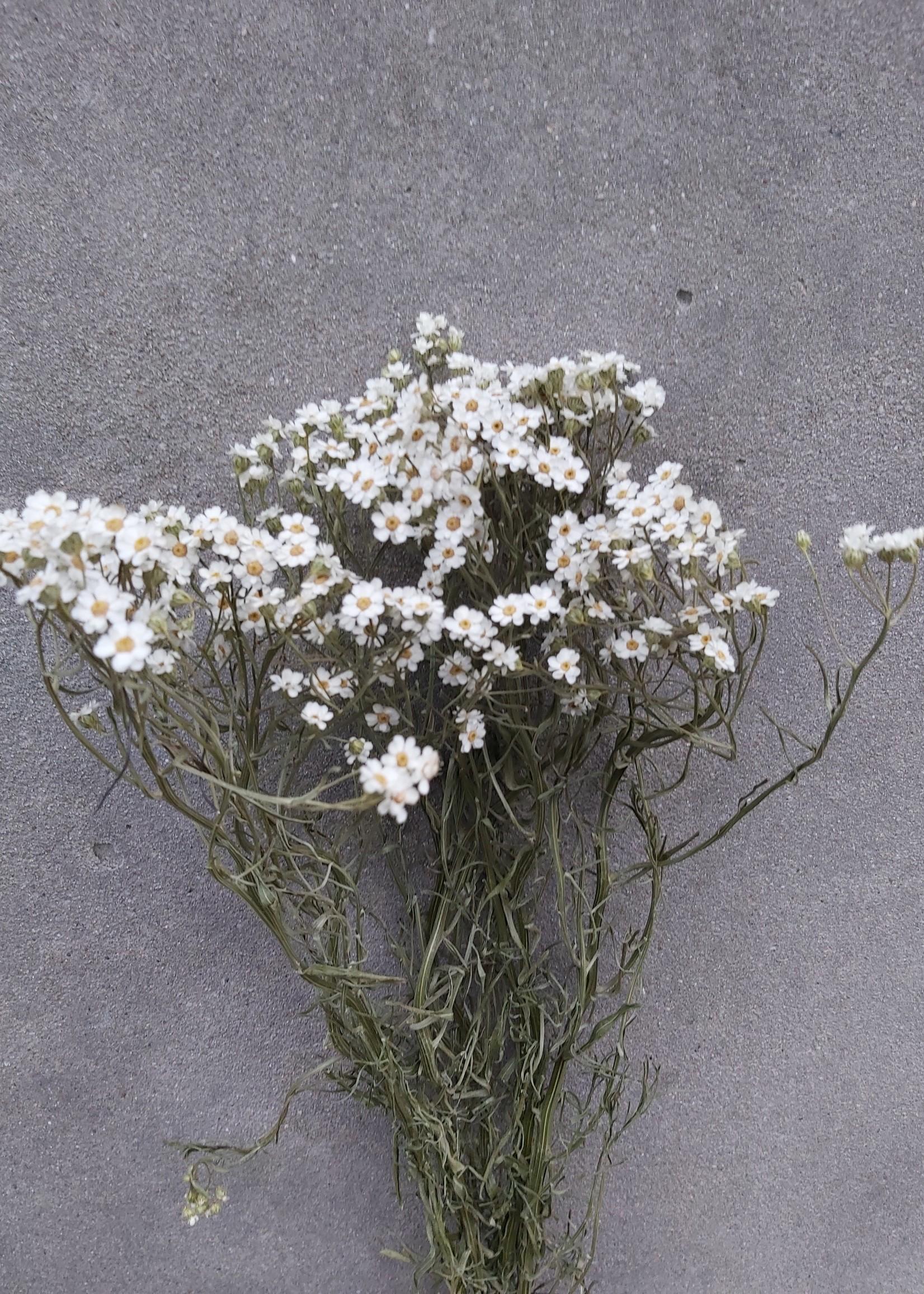 Gedroogde witte Ixodia per bosje van 30 - 40 cm