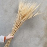 Gedroogde Triticum (tarwe) Blond Beard