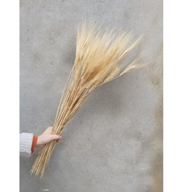 Dried Triticum (wheat) Blond Beard