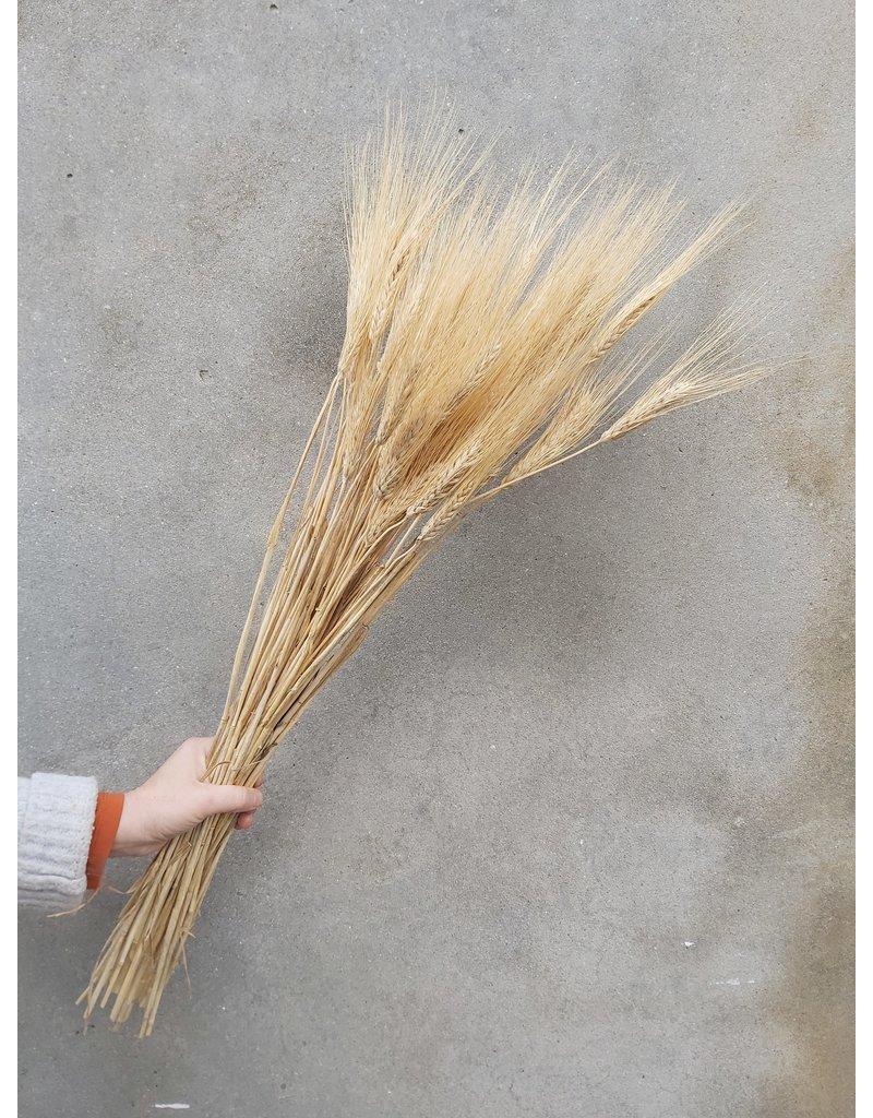 Gedroogde Triticum (tarwe) Blond Beard 250 gram per bos