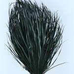 Gedroogde Chamaerops (palmblad) zwart