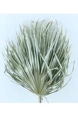Drei getrocknete Palmblätter - Chamaerops - weiß