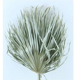 Three dried palm leaves - Chamaerops - white