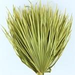 Gedroogde Chamaerops (palmblad) geel