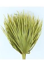 Drei getrocknete Palmblätter - Chamaerops - gelb