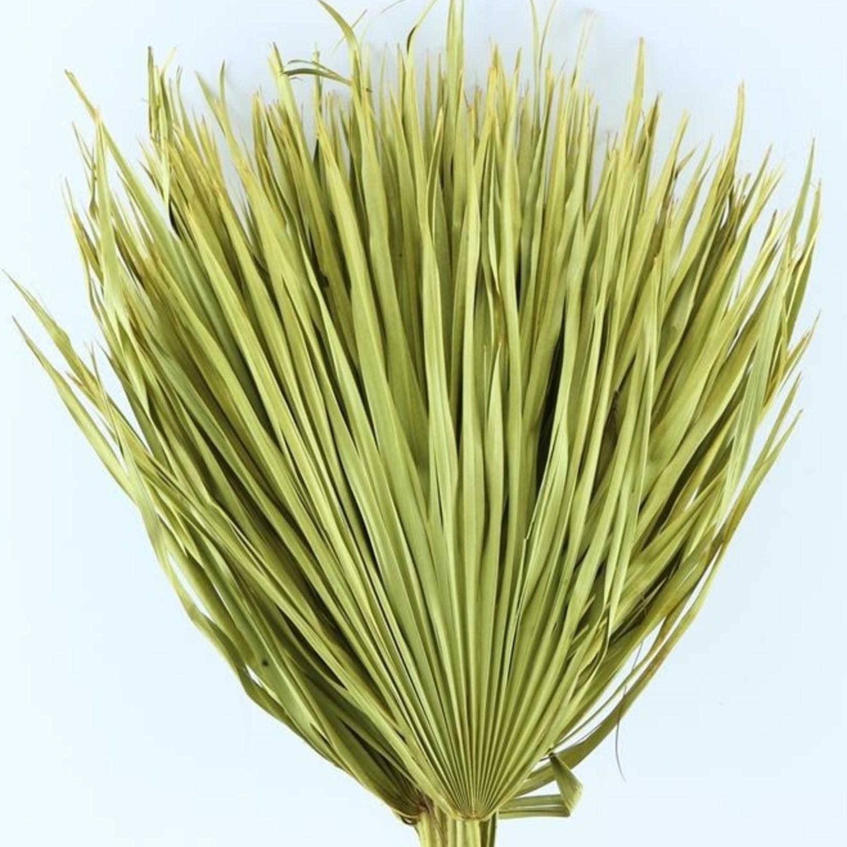 Gedroogde Chamaerops (palmblad) geel, per 3 takken