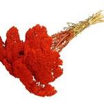 Achillea red