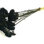 Achillea black