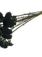 Quality Colors Achillea zwart