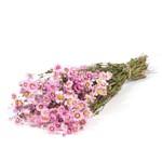 Gedroogde Rhodante - roze zonnestraal