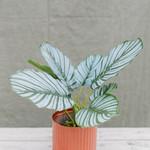 Artificial plant Calathea ↥ 30 cm