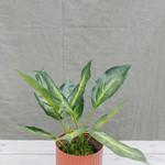 Kunstplant Dieffenbachia  ↥ 30 cm