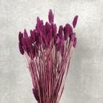 Phalaris purple