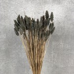 Phalaris gray