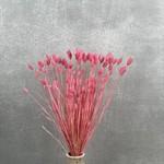Phalaris Fuchsia