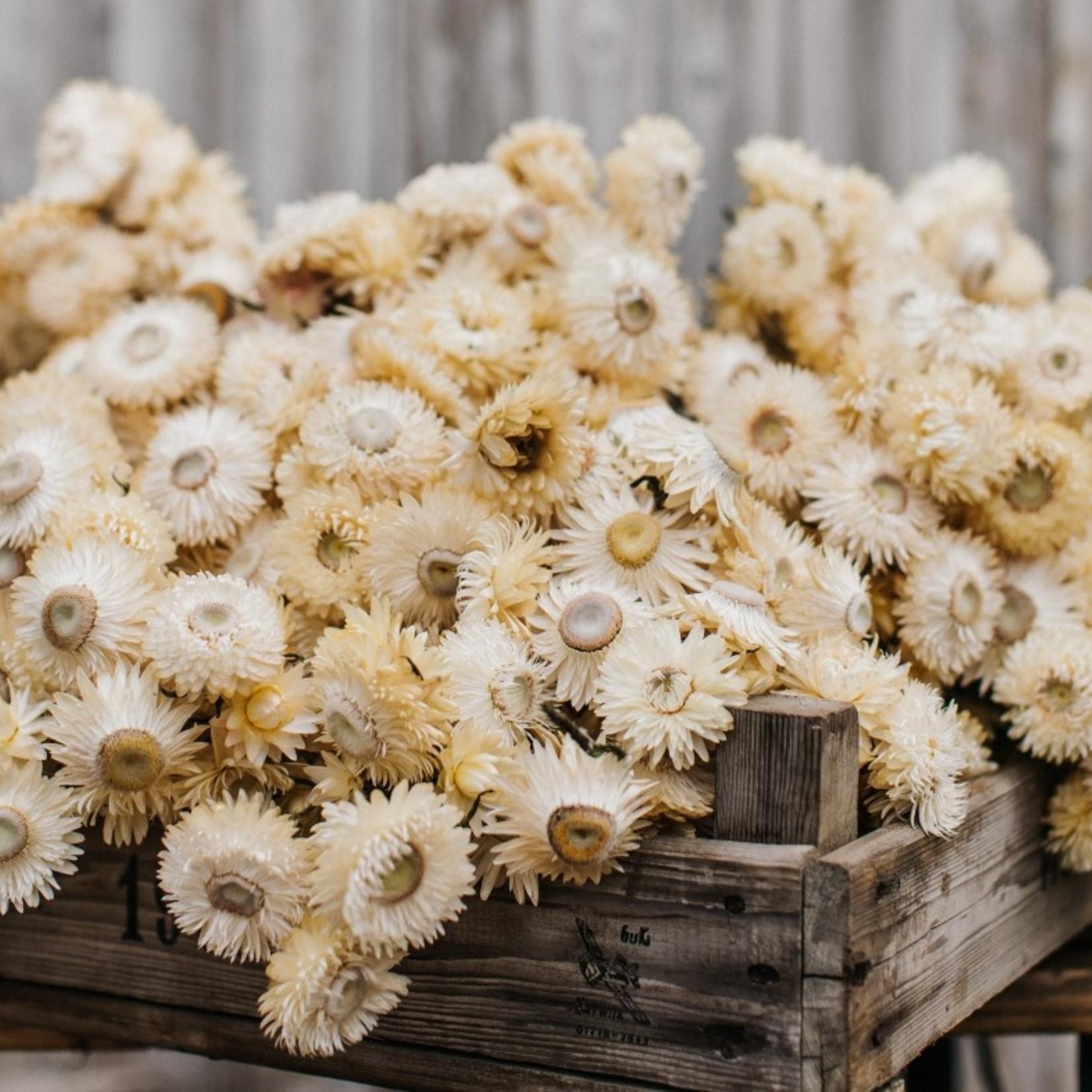Gedroogde Helichrysum wit  (strobloem) per bos