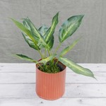 Kunstpflanze Dieffenbachia †¥ 30 cm