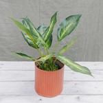 Kunstplant Dieffenbachia  ⇑30 cm