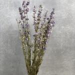 Delphinium Lila