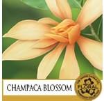Champaca Blossom